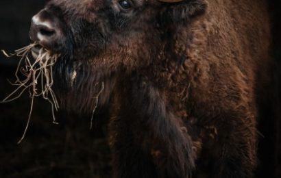 Cel mai mare mamifer terestru din Europa se întoarce în Carpații Meridionali