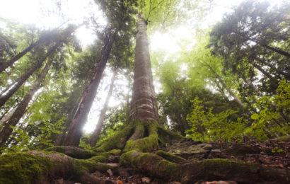 Peste 9000 de hectare de păduri virgine sunt securizate, prin eforturile WWF-România