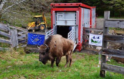 WWF: Un nou grup de zimbri a fost adus în Munții Țarcu